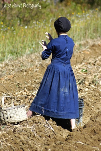 Amish girl during potato harvest