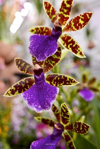 Orchidées-2
