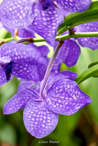 Orchidées -3