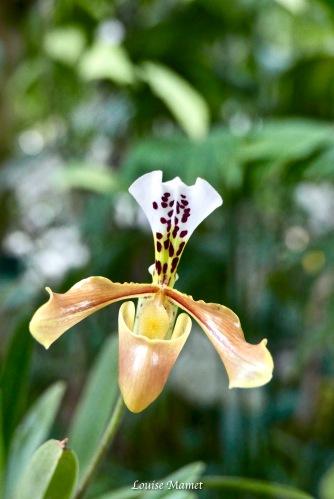 Orchidées -5