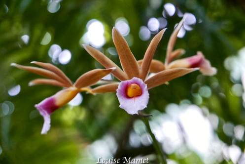 Orchidées -8